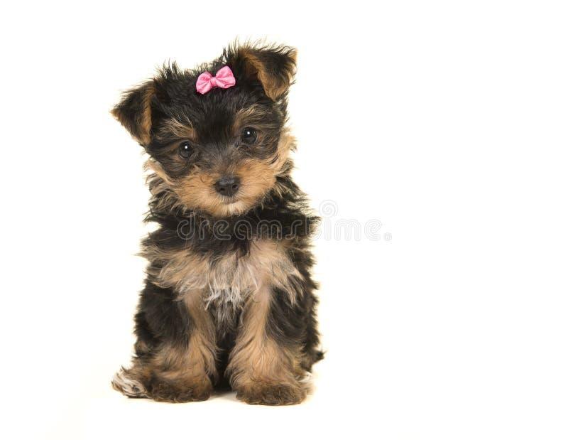 De leuke terriër van zittingsyorkshire, yorkie puppy die een roze boog dragen royalty-vrije stock fotografie