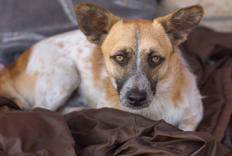De leuke verdwaalde hond met bedoeling ziet eruit die afsmeekt - keur me goed, tevreden royalty-vrije stock foto's