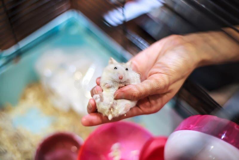 De leuke Vrouwelijke Exotische de Winter Witte Dwerghamster die van Babytricolor comfortabel in eigenaarpalm liggen dient de kooi stock fotografie