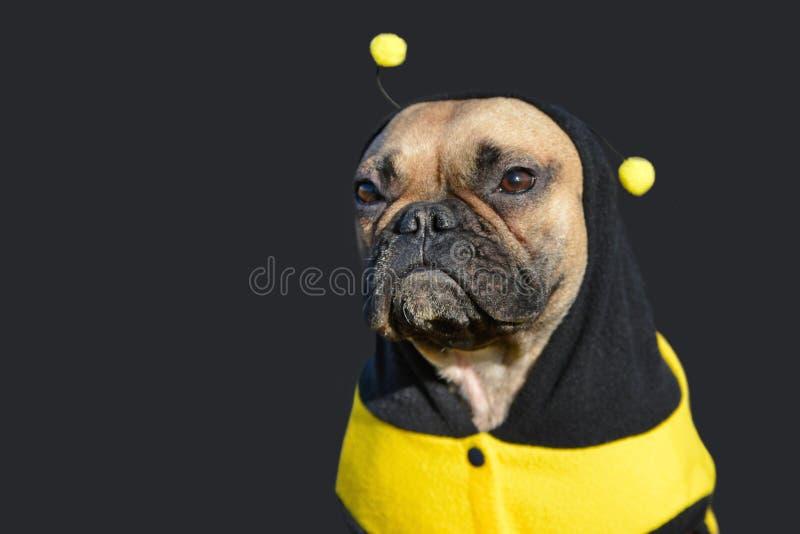 De leuke vrouwelijke hond van de fawn Franse Buldog omhoog gekleed in een grappig zwart en geel bijenkostuum stock afbeeldingen