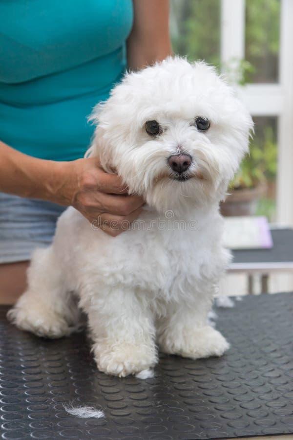 De leuke witte Bolognese hond is klaar voor het verzorgen royalty-vrije stock afbeeldingen