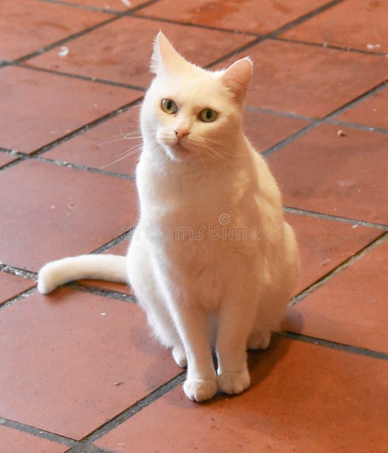 De leuke witte kat bekijkt iets Sluit omhoog Kat royalty-vrije stock afbeeldingen
