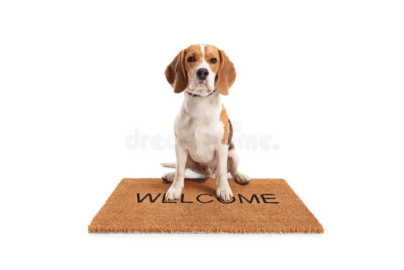 De leuke zitting van de brakhond op een bruine welkome mat stock afbeeldingen
