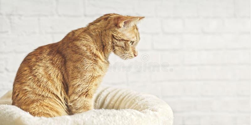 De leuke zitting van de gemberkat op een hoofdkussen en het kijken zijdelings nieuwsgierig royalty-vrije stock afbeelding
