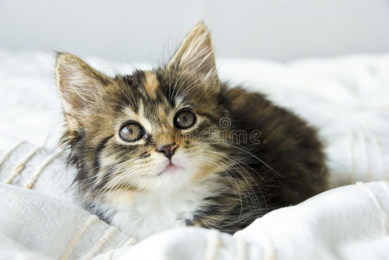 De leuke zitting van het gestreepte katkatje op de beddekking stock afbeeldingen