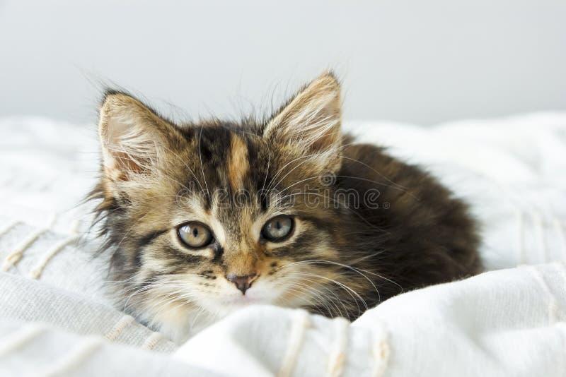 De leuke zitting van het gestreepte katkatje op de beddekking royalty-vrije stock foto