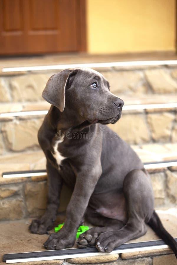 De leuke zitting van de het puppyhond van rietcorso dichtbij het huis en omhoog het kijken stock fotografie