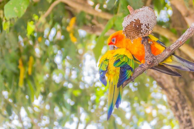 De de leuke zonparkiet of papegaai van zonconure eet de zaden van de zonbloem Genoemd het is wetenschappelijk is Aratinga-solstit stock afbeelding