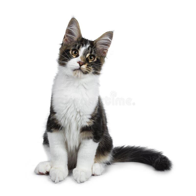 De leuke zwarte gestreepte kat met wit Maine Coon-kattenkatje, Staart krulde naast BO stock foto