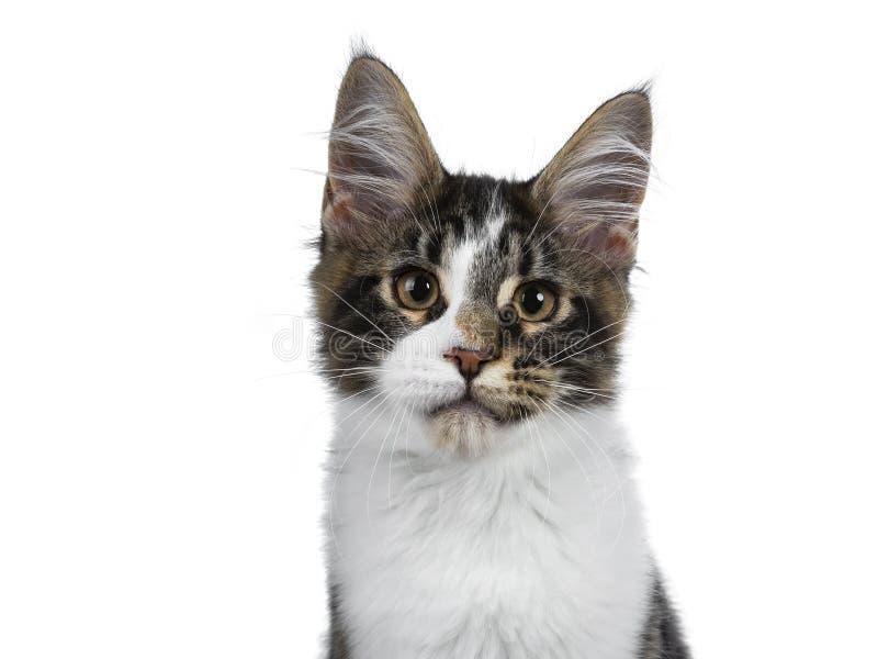 De leuke zwarte gestreepte kat met wit Maine Coon-kattenkatje, Staart krulde naast BO royalty-vrije stock foto