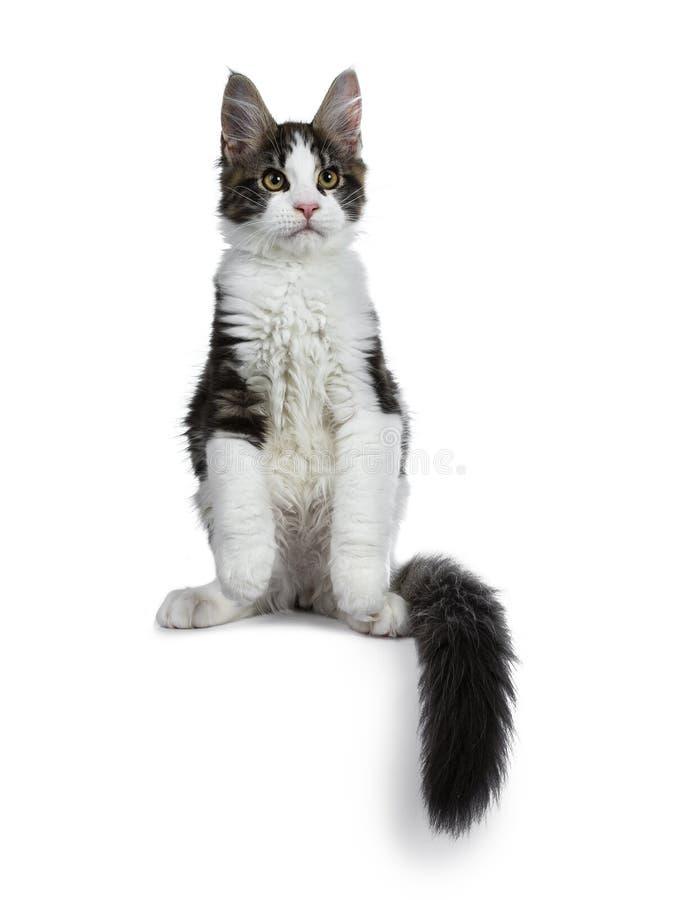 De leuke zwarte gestreepte kat met wit Maine Coon-kattenkatje, Voorzijde handtastelijk wordt in lucht en staart rond lichaam royalty-vrije stock foto