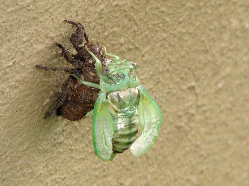 De leurder Cicadidae die van Megatibicenpronotalis exoskeleton afwerpen royalty-vrije stock foto
