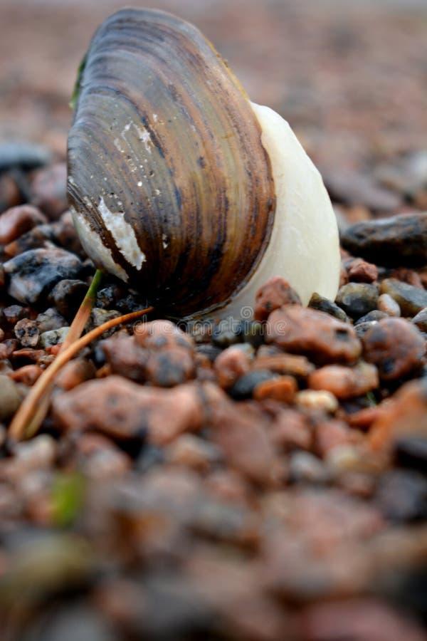 De levande musslakrypandena på vaggar arkivfoto