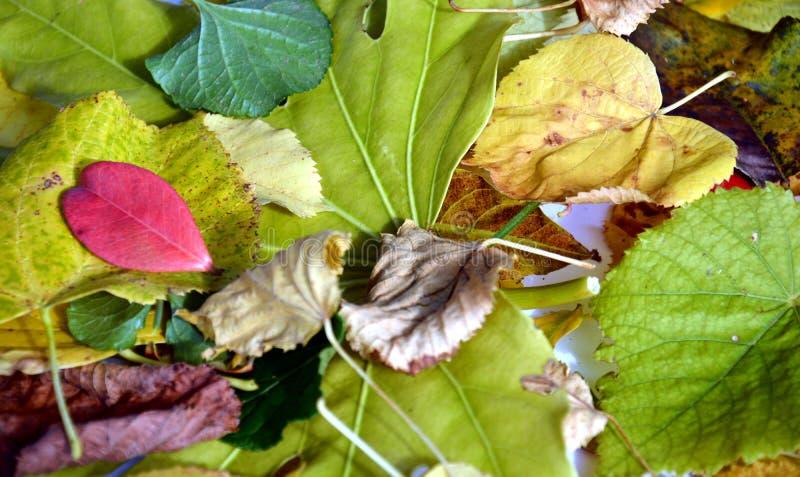 De levendige gele rode groene oranje bladeren van het de herfst kleurrijke gras Omhoog sluit het de winter natuurlijke beeld, royalty-vrije stock fotografie