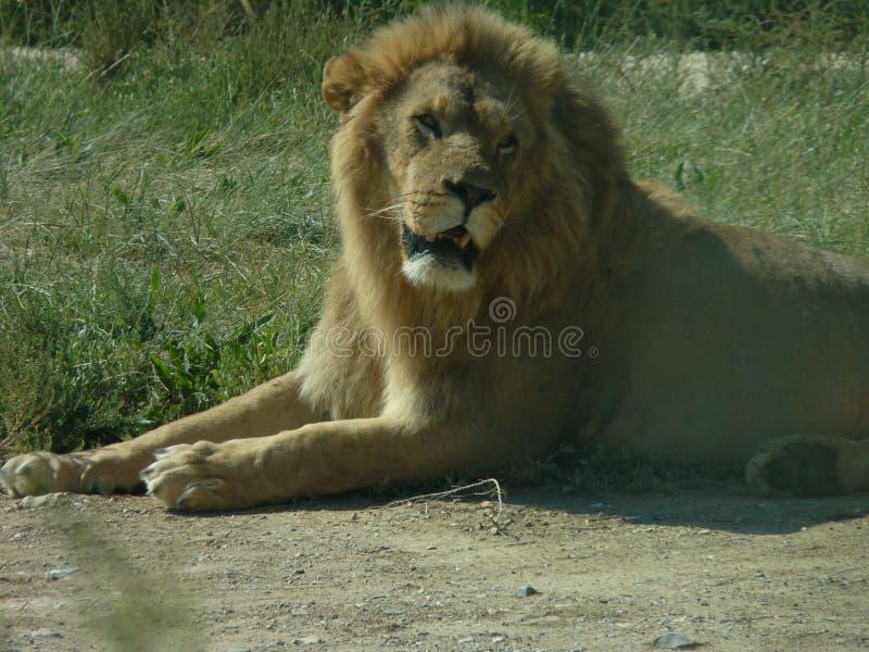 De levensonderhoudrust van de leeuw stock afbeeldingen