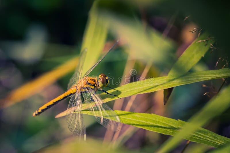 De libel door zonlicht wordt aangestoken zit op het gras dichtbij de vijver die royalty-vrije stock afbeeldingen