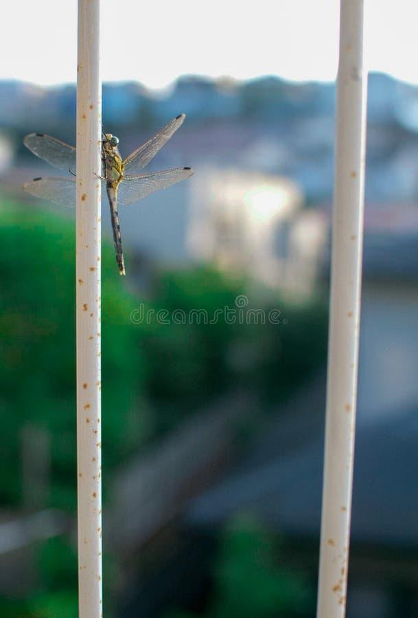 De libel op de rest wordt genomen rond Tokyo, Japan Het werd voorgesteld in de zomer en zeer waarschijnlijk is er ton insecten royalty-vrije stock foto