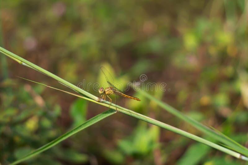 De libel, oranje boomstammen hangt op het gras, op de grasachtergrond stock afbeelding