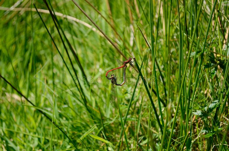 De libellen klampen zich samen op grasstammen vast, die de vorm van een hart vormen stock afbeeldingen
