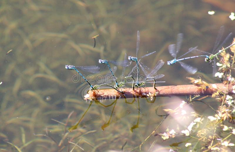 De libellen Odonata van liefdespelen op een zeggeaard van de Oekraïne royalty-vrije stock afbeelding