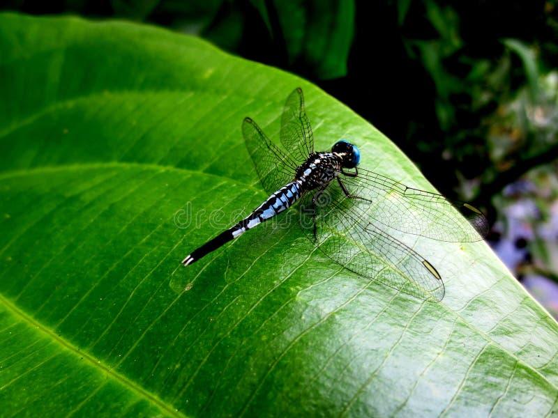 De libellen zijn op de groene bladeren stock foto