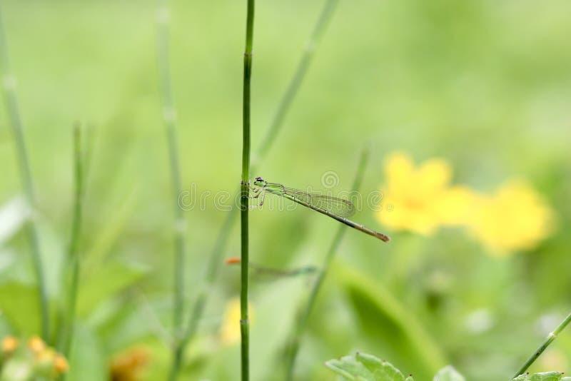 63/5000 de libellules se dorent le matin, enlevant la rosée sur son corps photographie stock libre de droits