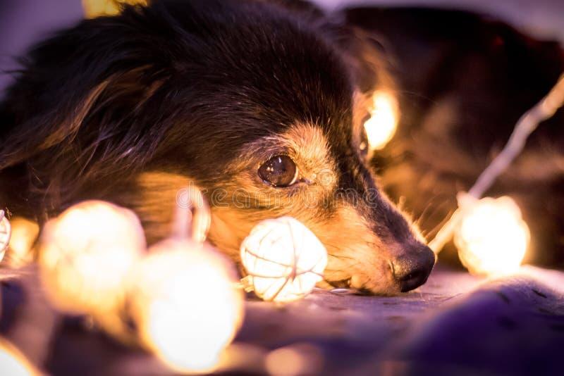 De Lichten van de hondfee royalty-vrije stock afbeeldingen