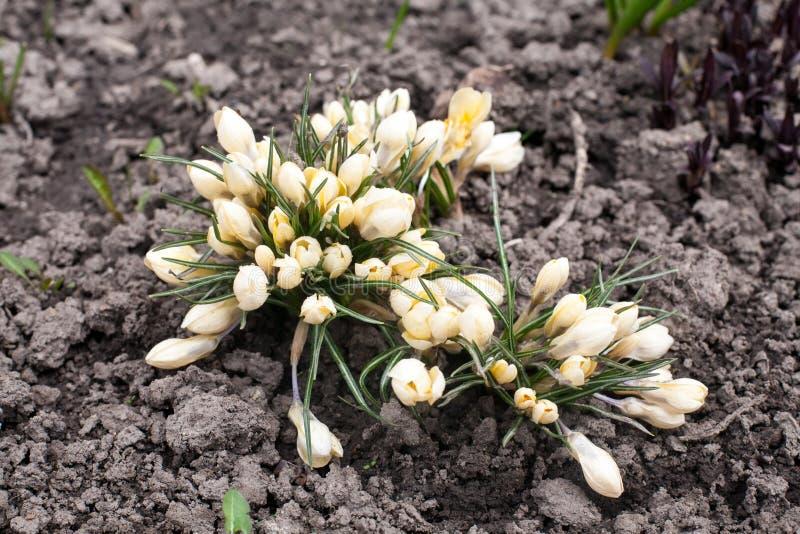 De lichtgele sneeuwklokjelente bloeit close-upmening over grondachtergrond stock fotografie