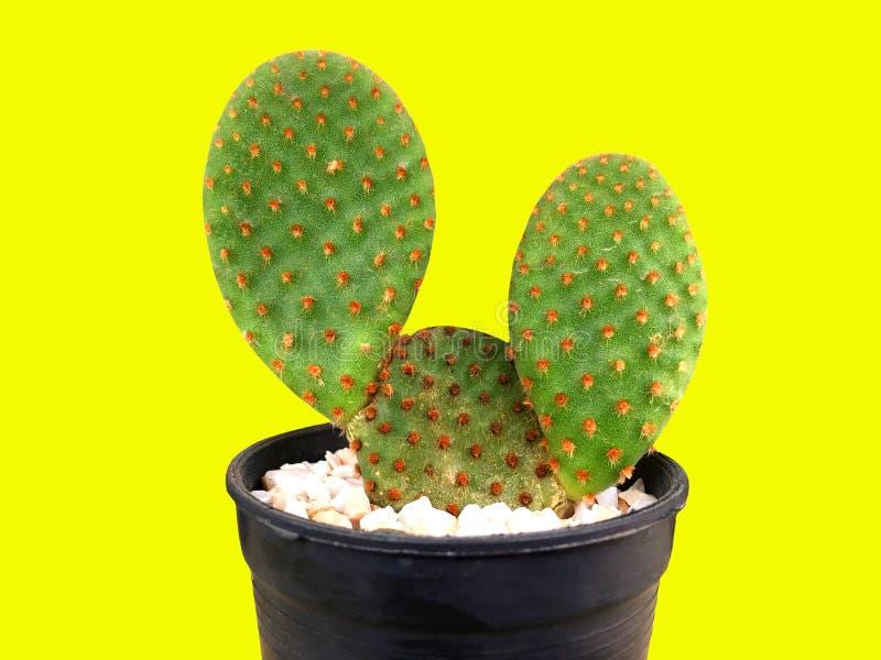 De lichtgroene cactus van de konijntjesvijgencactus op witte steen binnen zwarte plastic pot stock afbeelding