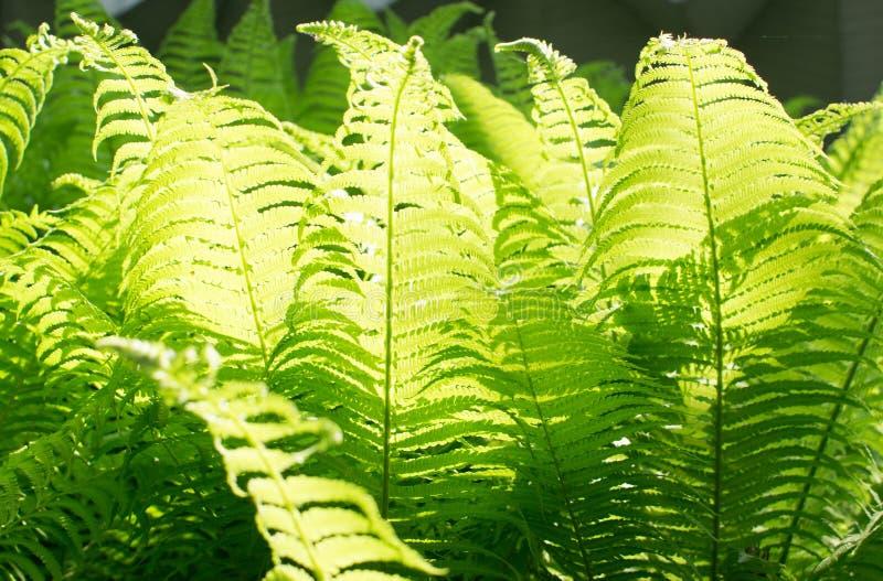 De lichtgroene Lente Fern Leaves stock foto's