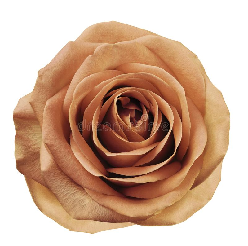 De lichtrode bloem nam op wit geïsoleerde achtergrond met het knippen van weg toe Geen schaduwen close-up Voor ontwerp royalty-vrije stock foto's