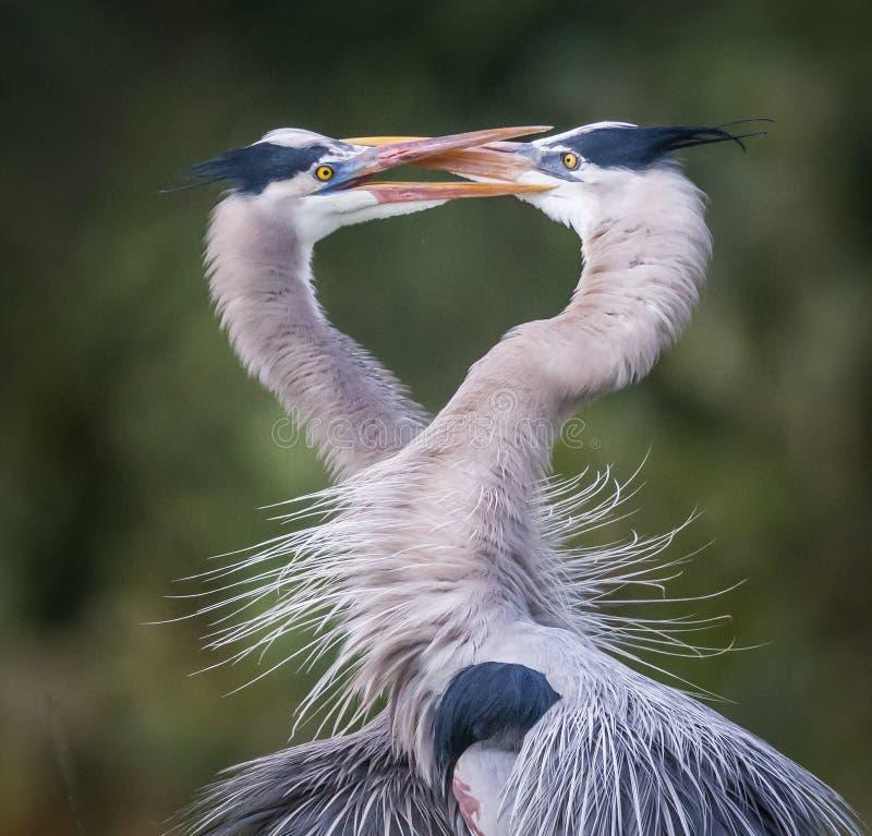 De liefde is in de lucht met Grote blauwe herons_ twee stock afbeeldingen