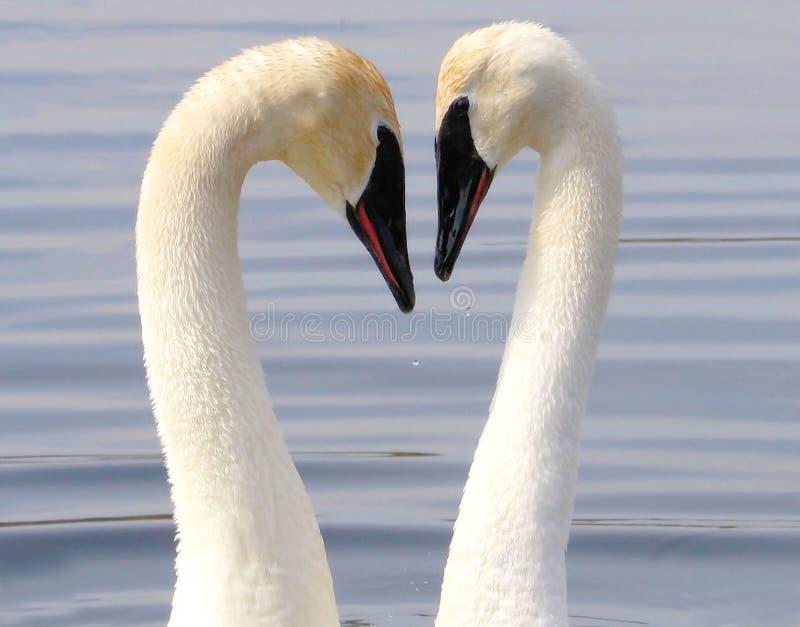 De Liefde van de zwaan stock foto's
