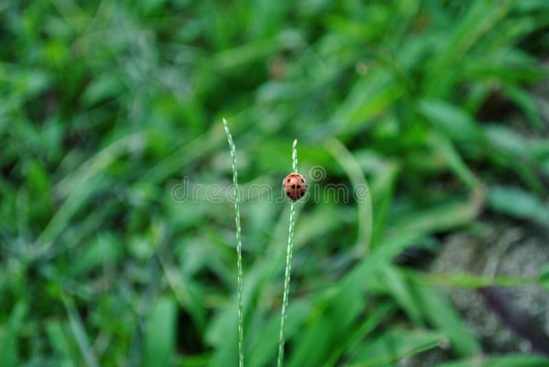 De lieveheersbeestjes zijn insecten op Java royalty-vrije stock afbeelding