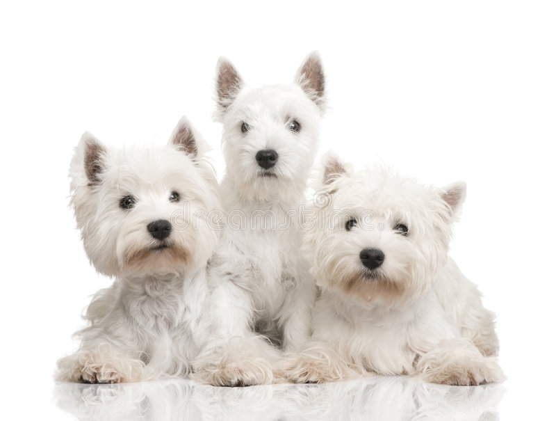 de ligne de chien terrier blanc des montagnes à l'ouest images libres de droits