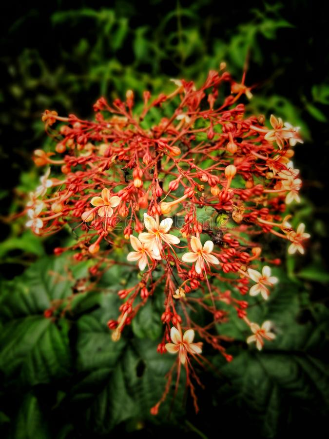 De lilla röda santan blommorna royaltyfria foton