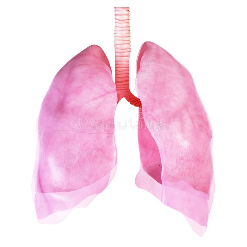 De long en het borstvlies vector illustratie