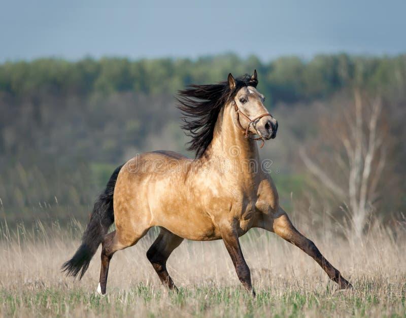 De looppas van het Lusitano dun paard vrij in de de zomerheuvel stock fotografie