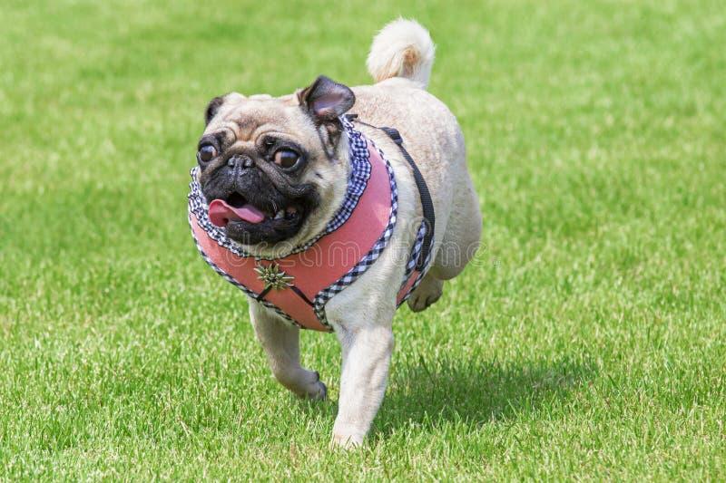 De lopende pug hond dirndl kleedt zich stock foto's