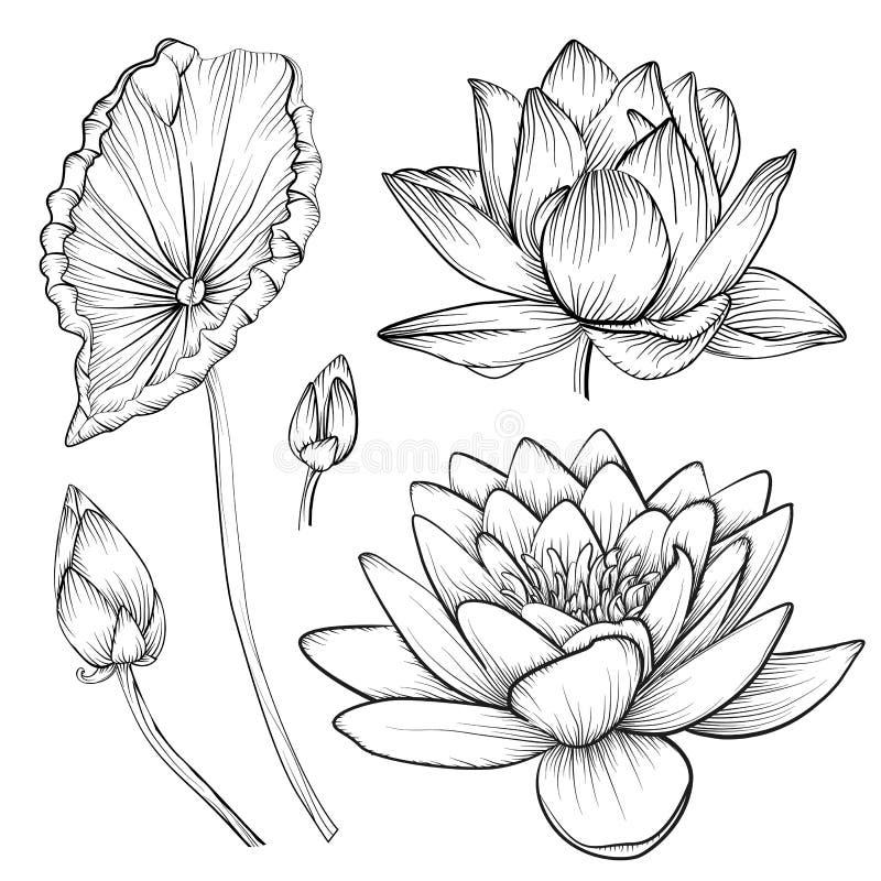 De Lotus de água do lírio rosa colorido da flor bonita do vetor waterlily ilustração stock