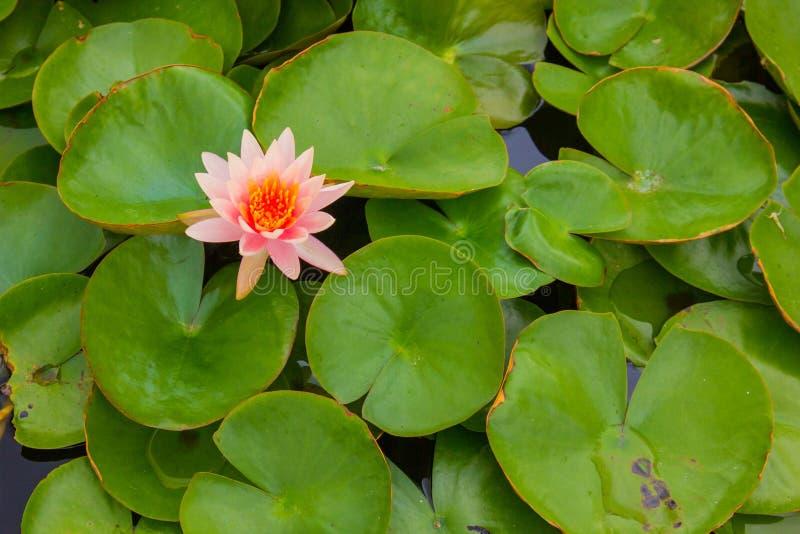 De Lotus de fleur puits dedans image libre de droits