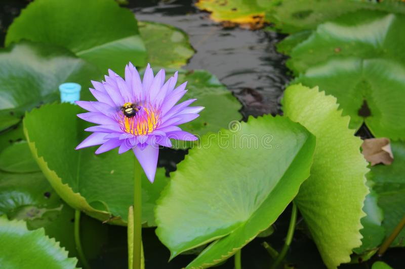 De Lotus pourpre lilly sur l'eau photo libre de droits