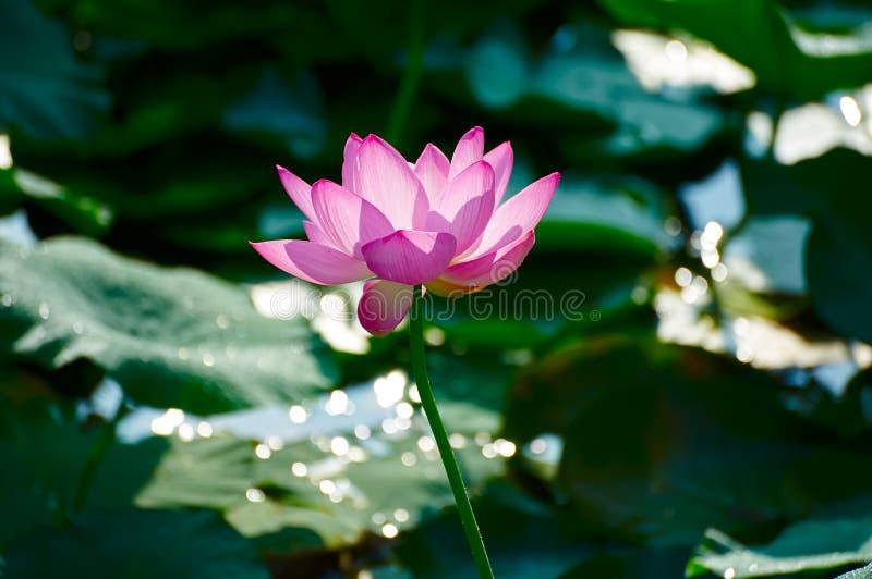 De lotusbloem en de lichte vlek stock afbeeldingen