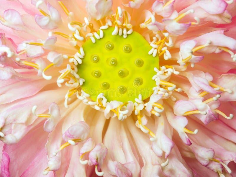 De lotusbloem van de bloesem stock fotografie