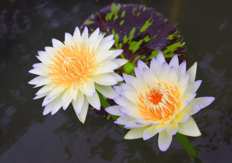 De lotusbloem van het paar royalty-vrije stock afbeeldingen