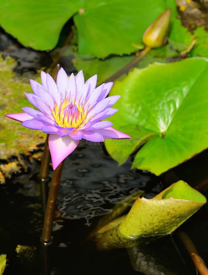 De lotusbloem van Nymphaea stock fotografie