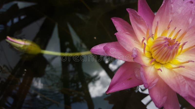 De lotusbloembloem royalty-vrije stock foto