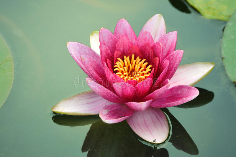 De lotusbloembloem van de close-up royalty-vrije stock afbeeldingen