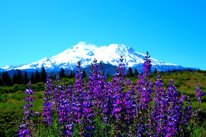 De loup de Mt Shasta photos stock