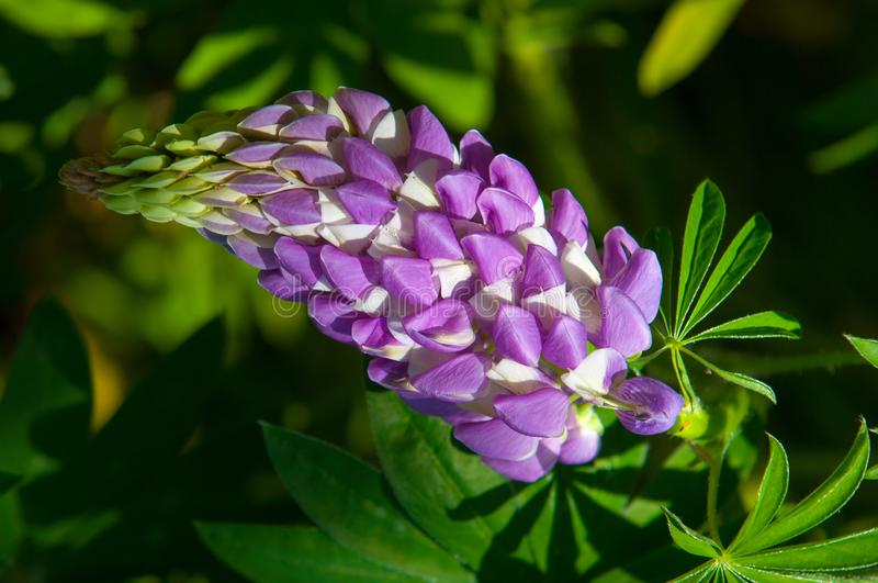 De loup, lupin photographie stock